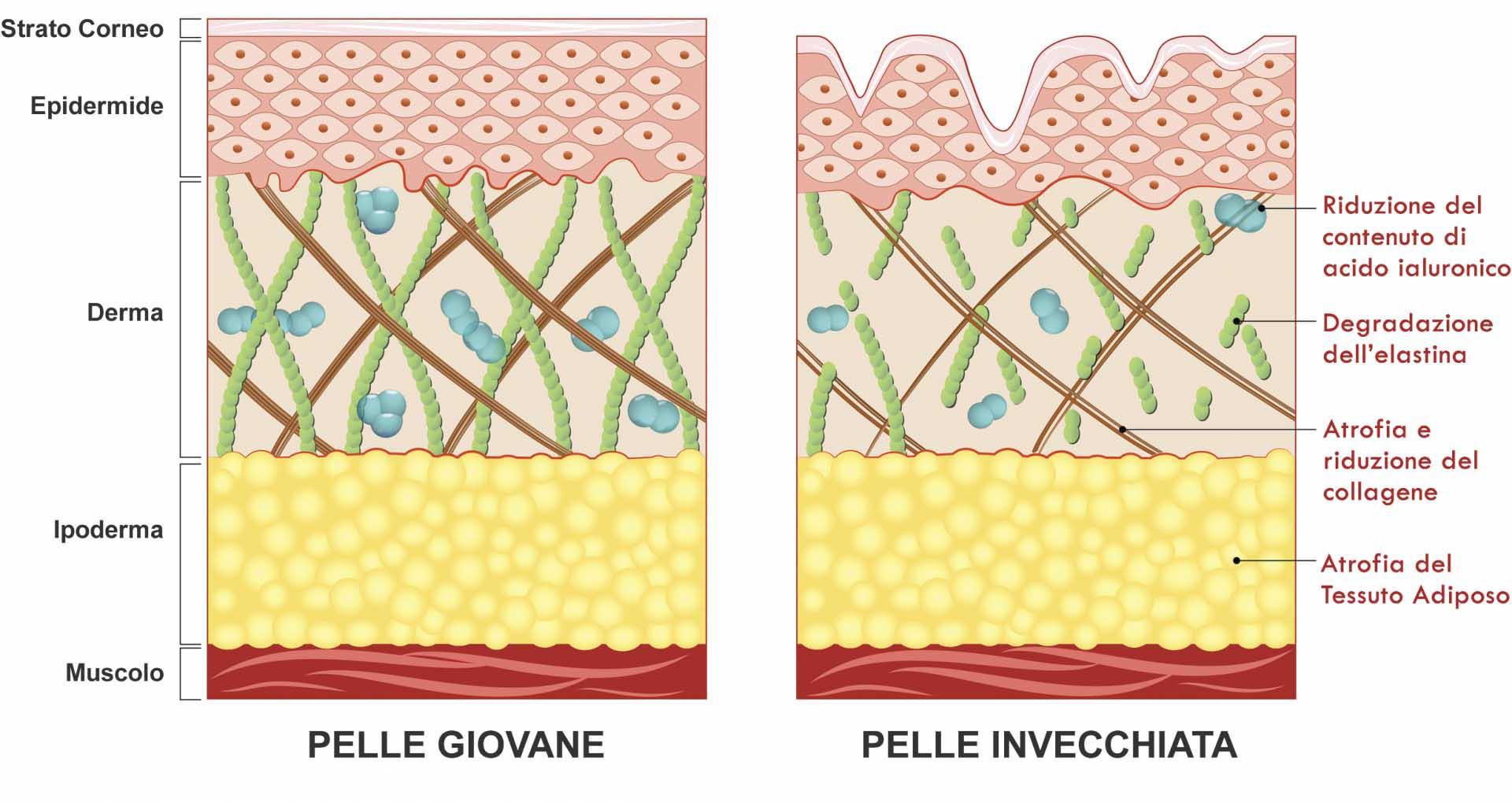 Invecchiamento Pelle - Elastina e Collagene