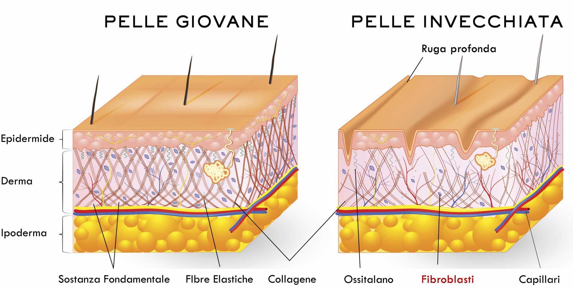Fibroblasti Dermici Pelle