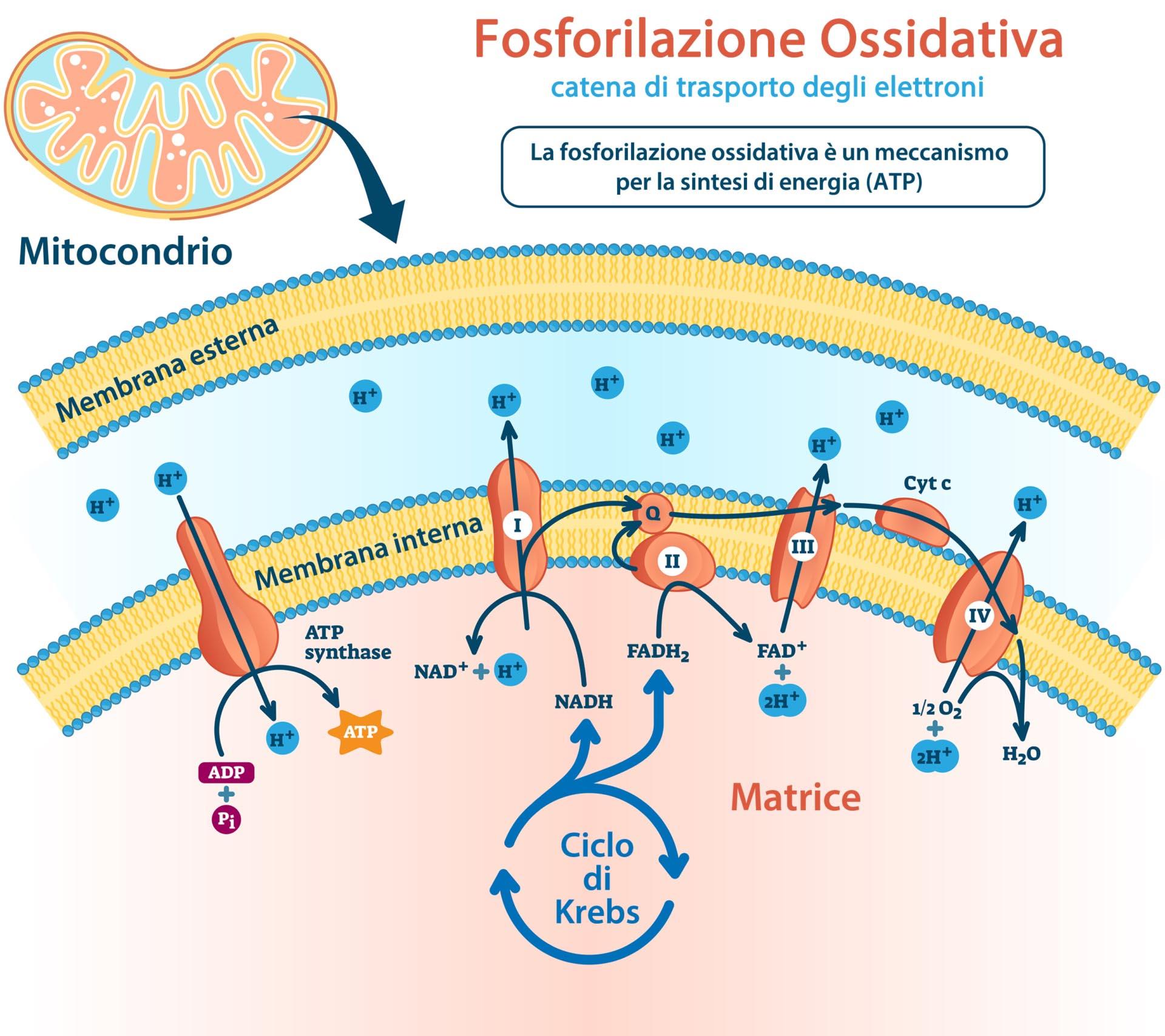 Fosforilazione ossidativa - catena di trasporto degli elettroni
